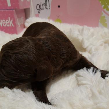 Chocolate brown Female