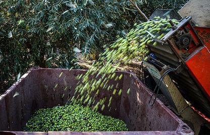 תצלום של מנערת הזיתים מרוקנת את הזיתים לתוך מיכל בדרך לבית הבד. התמונה צולמה בתקופת המסיק של 2015 - 2016