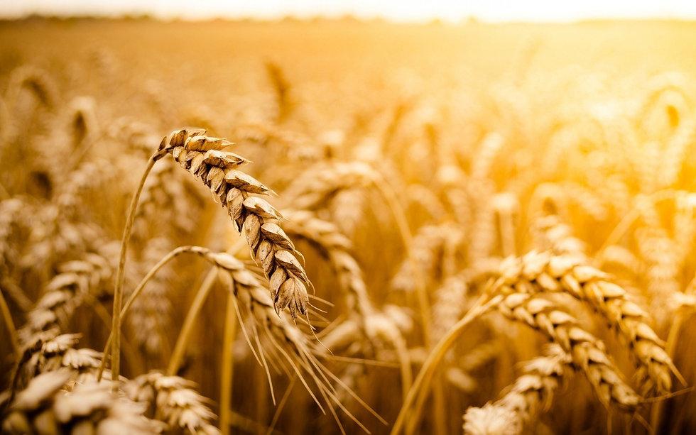 macro-wheat-field-sun-nature-2.jpg
