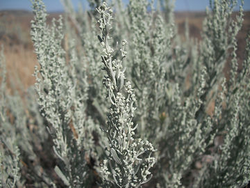 Some say sagebrush smells like mint; others say it smells lik turpentine!