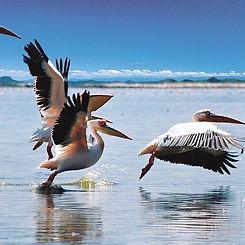 BCP_pelicans.jpg