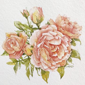 Rosen rosa