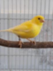 Fundtier,_Kanarienvogel,_Nahe,_Hüttkahl