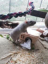 Ratte Rudi.jpg