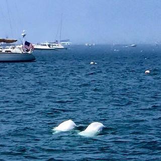 Newport Harbor Belugas