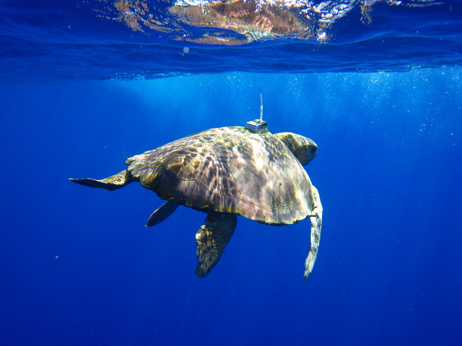 Sea turtle Argos [Images,CLS Group].jpeg