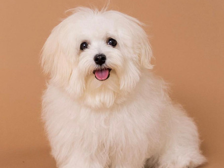 How to prevent your Maltese from tear stains