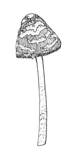 Magpie fungus