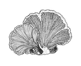 Split Gill Mushroom