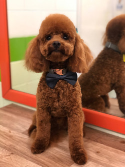 Mini Poodle (teddy bear)