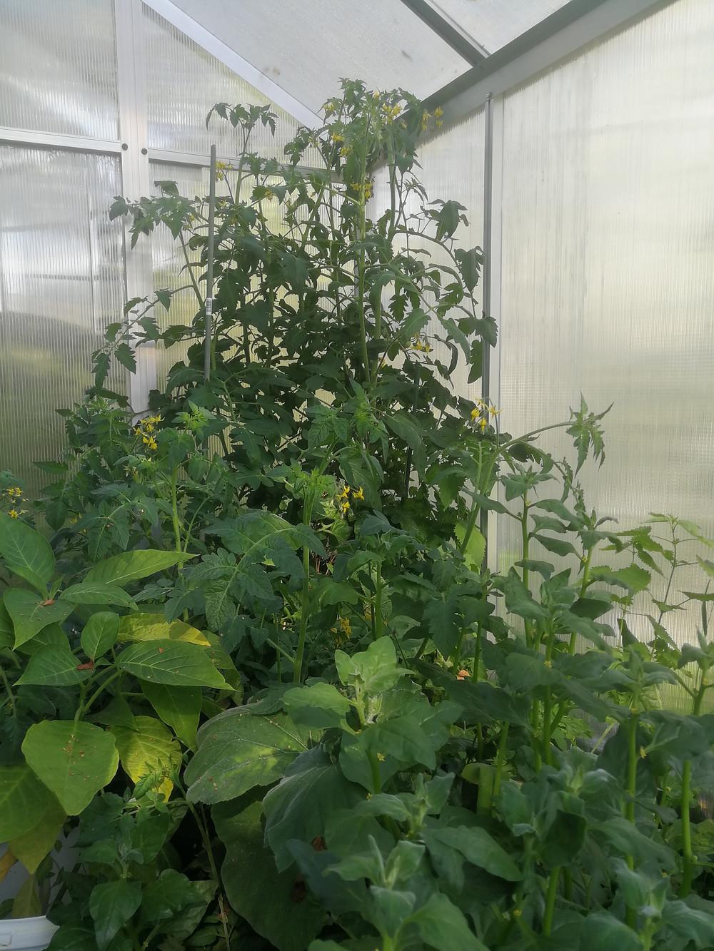 Tomaatti ja pinaatti viihtyivät hyvin kasvihuoneessa.