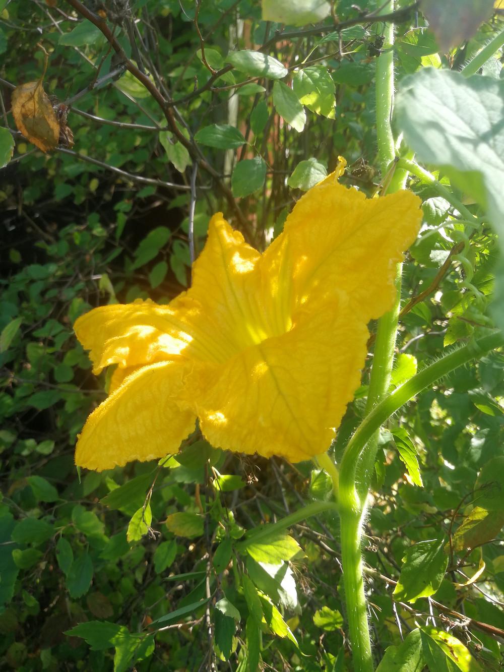 Kurpitsan kukat ja kurpitsansiemenet ovat herkullisia.