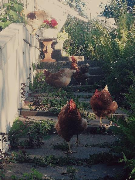 Mittumaarivaarassa syödään omien kanojen munia.