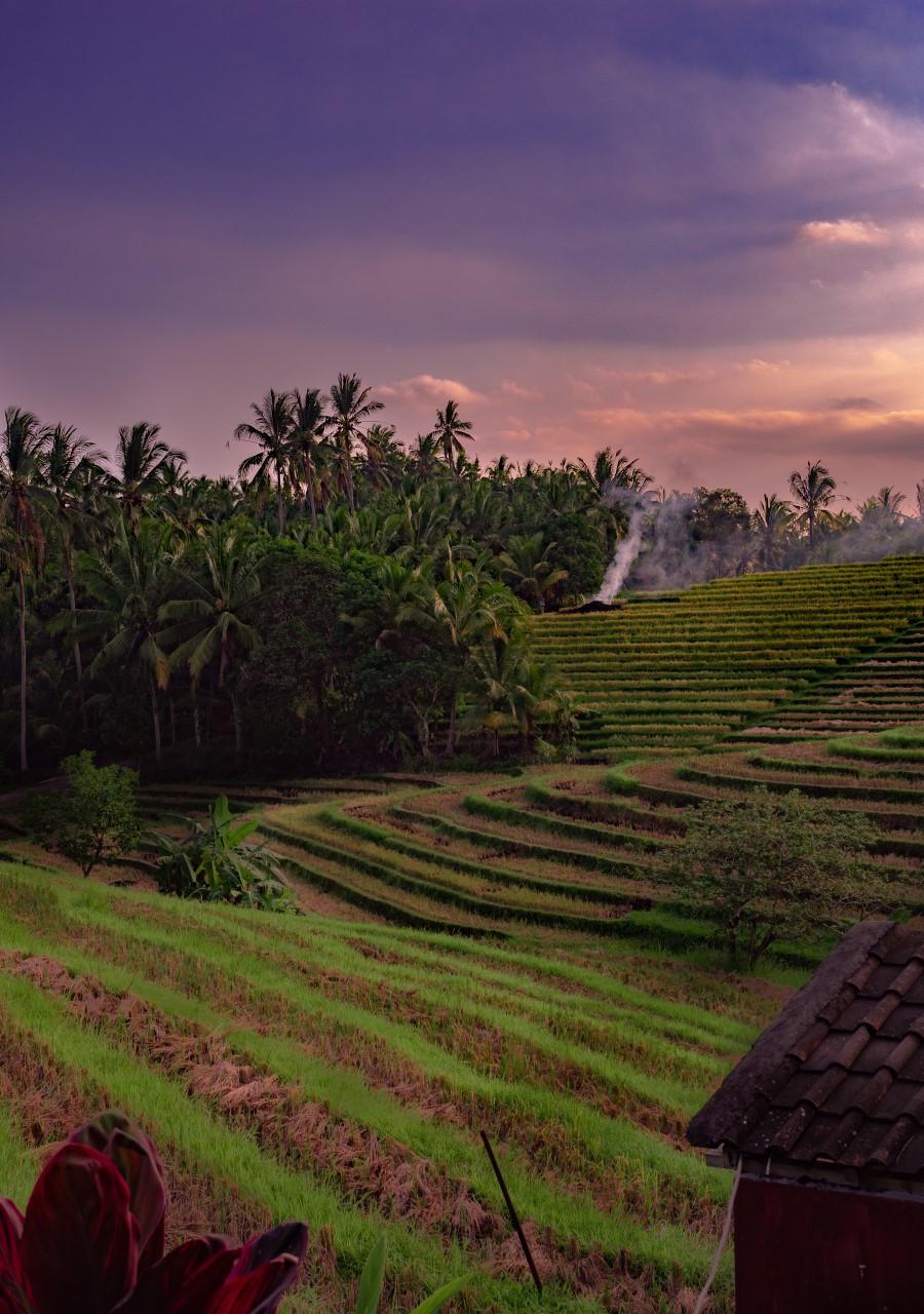 Riisipeltoja silmänkantamattomiin: sellaista on Balin maaseutu.