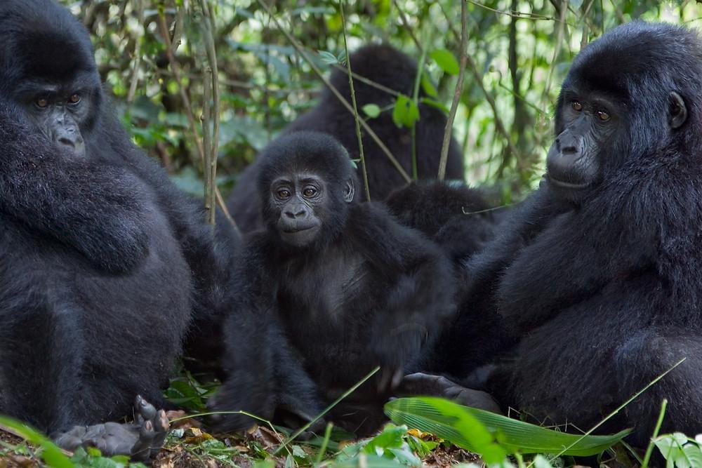 Ugandassa voit tavata vuorigorilloja lähietäisyydeltä