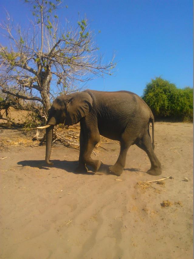 Chobessa asuu noin 11 000 elefanttia.