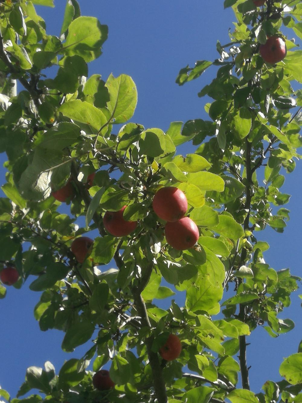Punakaneli ja valkea kuulas ovat rakastettuja omenalajikkeita.
