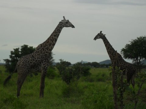 Mikumissa on paljon kirahvejakin.