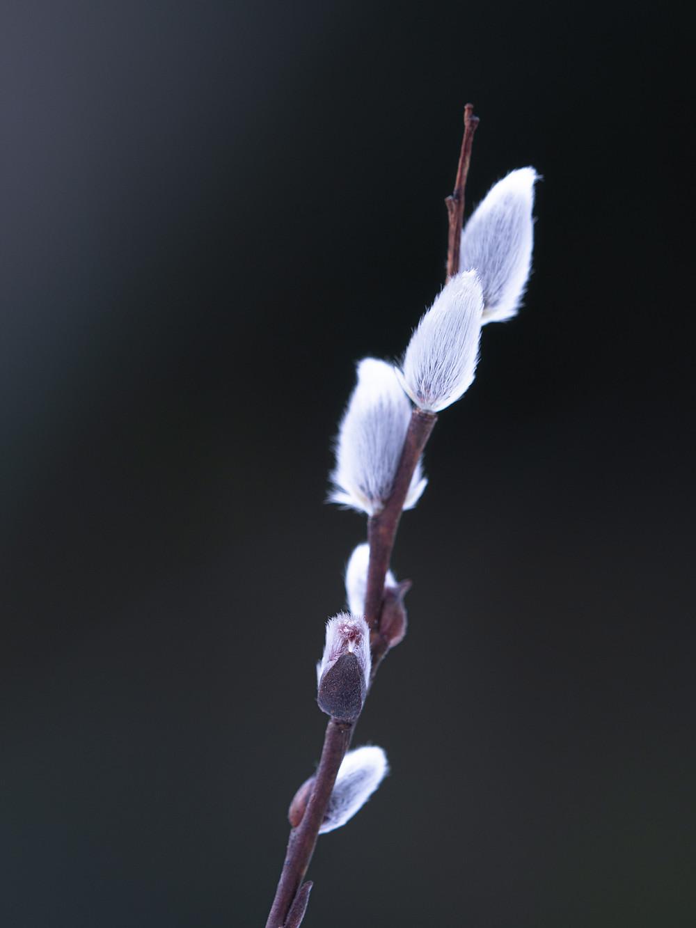 Ei ole sattumaa, että pääsiäisenä virvotaan pajulla.