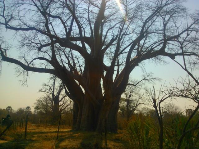 Big Tree, vanha zimbabwelaisten ja sambialaisten kauppapaikka.