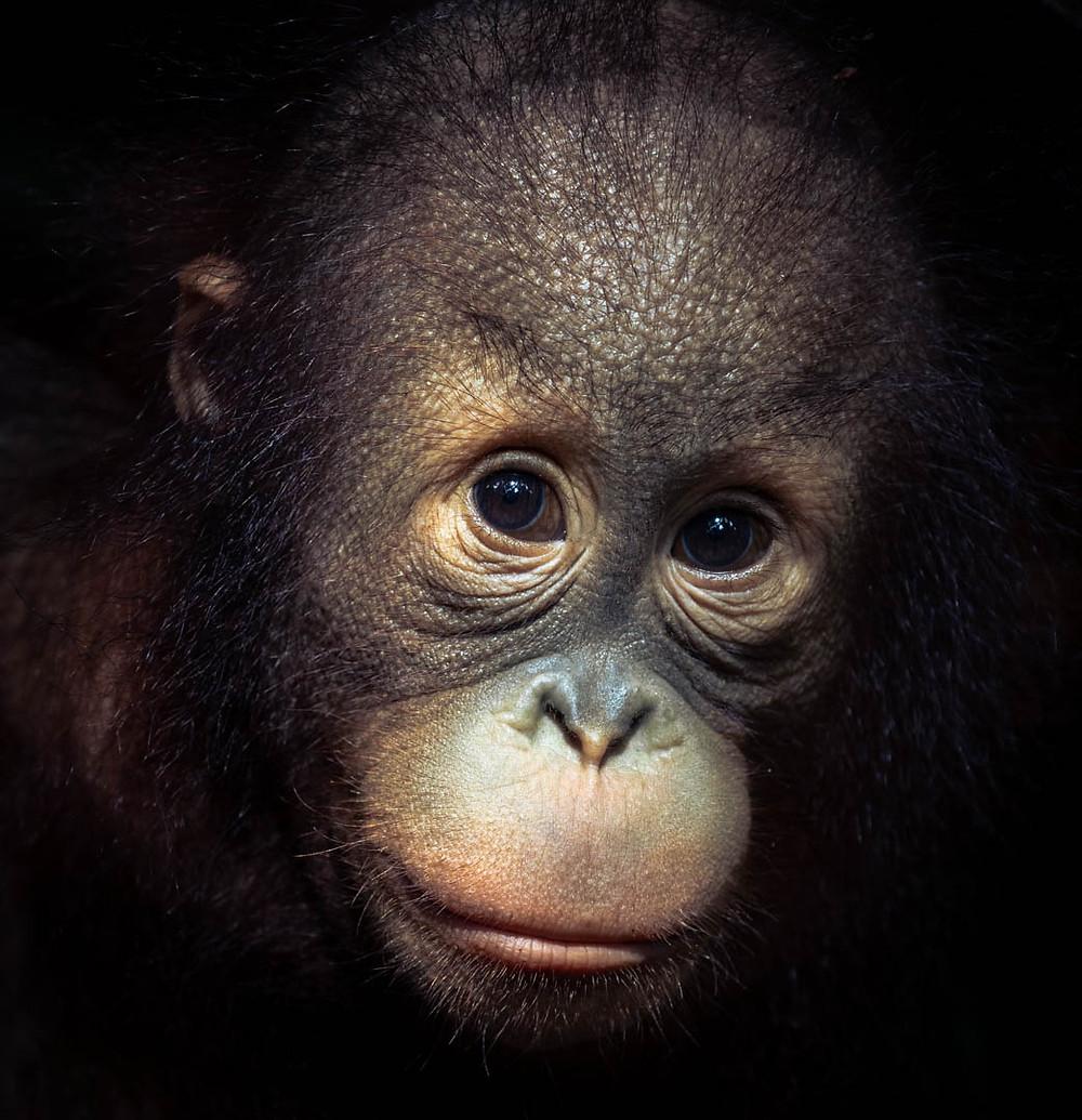 Ecosia istuttaa puita muun muassa Indonesiaan, minkä orangit tarvitsevat elintilaa.
