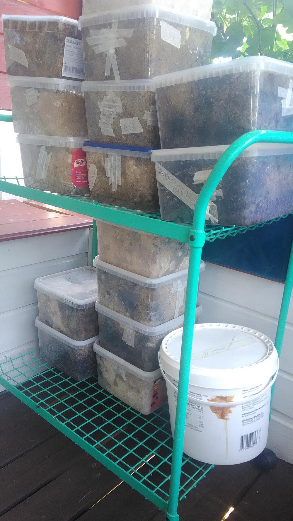 Ilmaisissa karkkilaatikoissa voi kasvattaa osterivinokkaita itse.