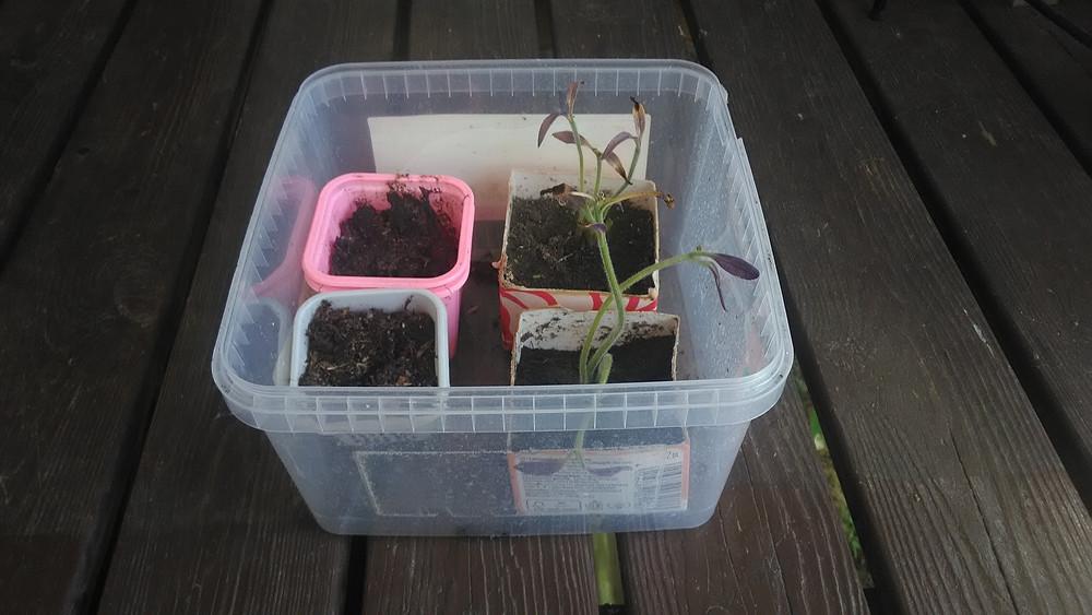Karkkilaatikon avulla taimia on helpompi siirtää paikasta toiseen.