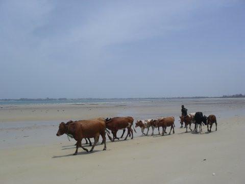 Lehmiä Intian valtameren rannalla