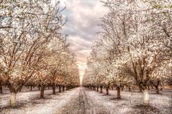 Almond_Orchard_Cjn