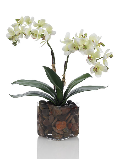 Double Phal Orchid Plant