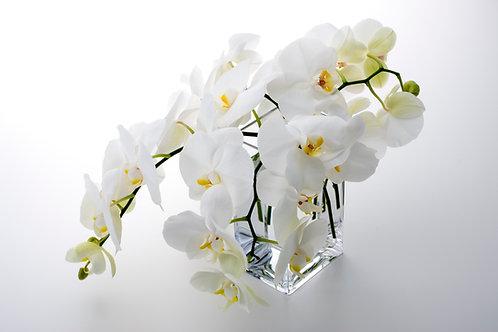 Cut Phalaenopsis Orchid