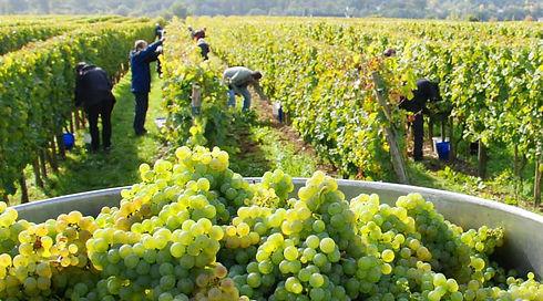 grapes-en20120531LAVINO-2.jpeg