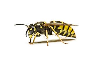 Wasp Control Godalming