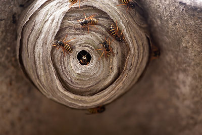 wasp-nest-removal-Esher