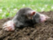 Mole Control Dorking