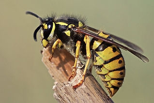 wasp control reigate