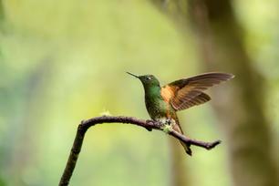Colibri d'Equateur