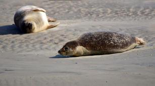 Repos de phoques