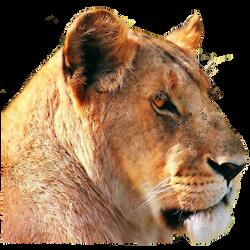 Female Lion 70.png