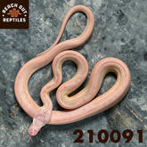 Female SD Ultra Ivory