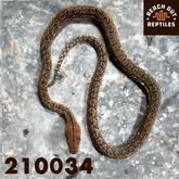 Male Karompa