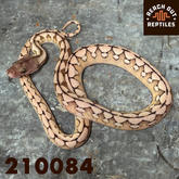 Male SD Platinum Tiger