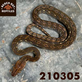 Female SD Wildtype