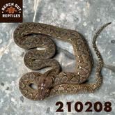 Male SD Wildtype