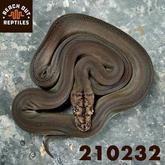 Female Dwarf Motley Goldenchild Platinum