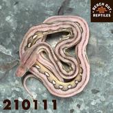 Male SD Anery Sunfire Platinum Tiger
