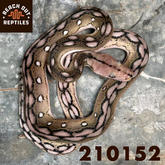 Male SD Anery Motley Tiger