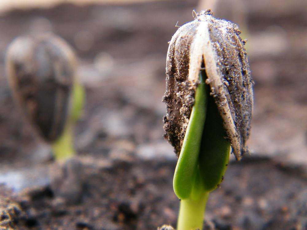 Semilla de girasol soltando su cáscara para crecer