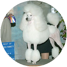 Poodle Handlers