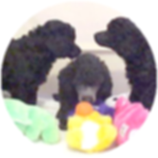 Poodle Breeders
